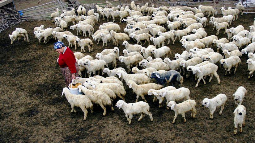 Türkiye küçükbaş hayvancılık potansiyelini hızla yitiriyor.jpg