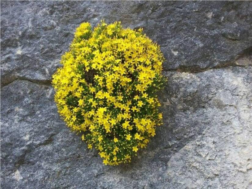 binbirdelikotu kayalıklarda yetişiyor.jpg