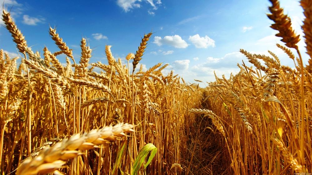 buğday1.jpg