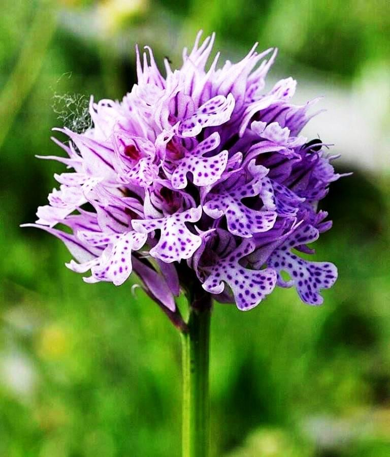 mermer ocağı izni verilen bölge orkide türleri için yaşam alanı.jpg