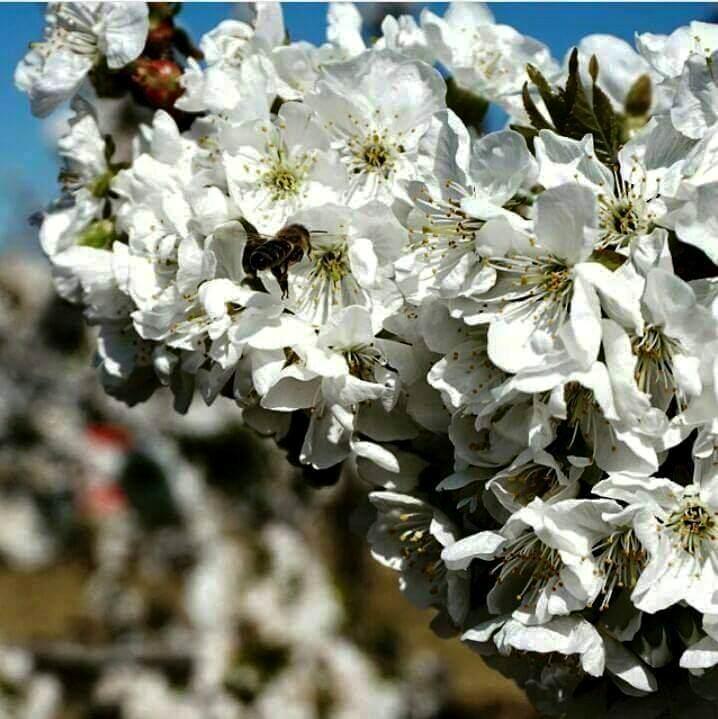 uluborlu kiraz çiçeği.jpg