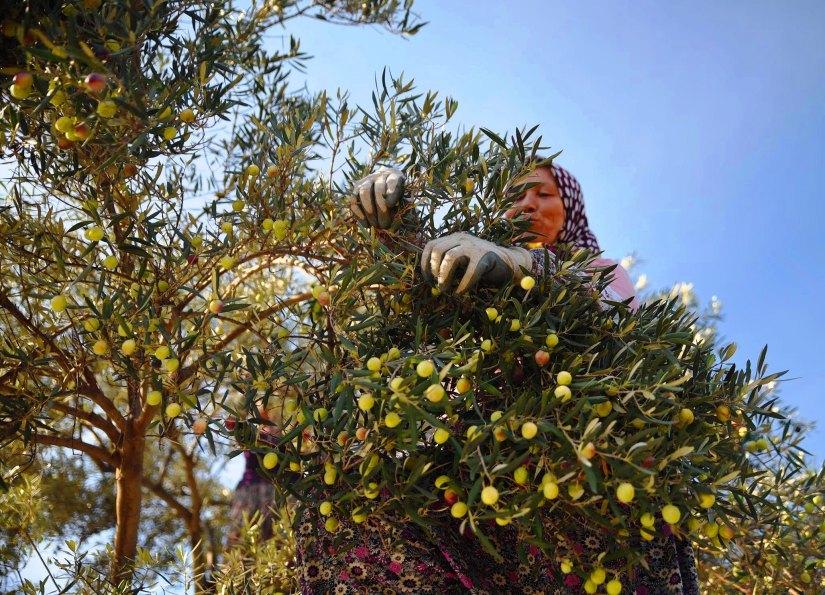antalya önemli zeytin üretim emrkezlerinden biri.jpg