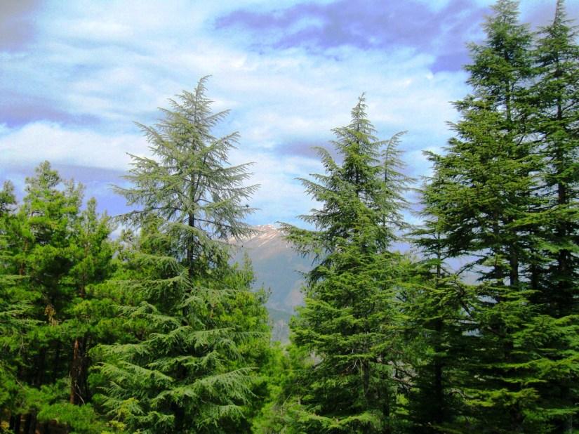 antalya üçoluk yaylası sedir ağaçları.JPG