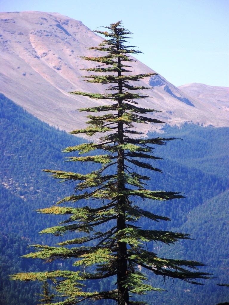 çığlıkara sedir araştırma ormanı elmalı,  antalya.jpg