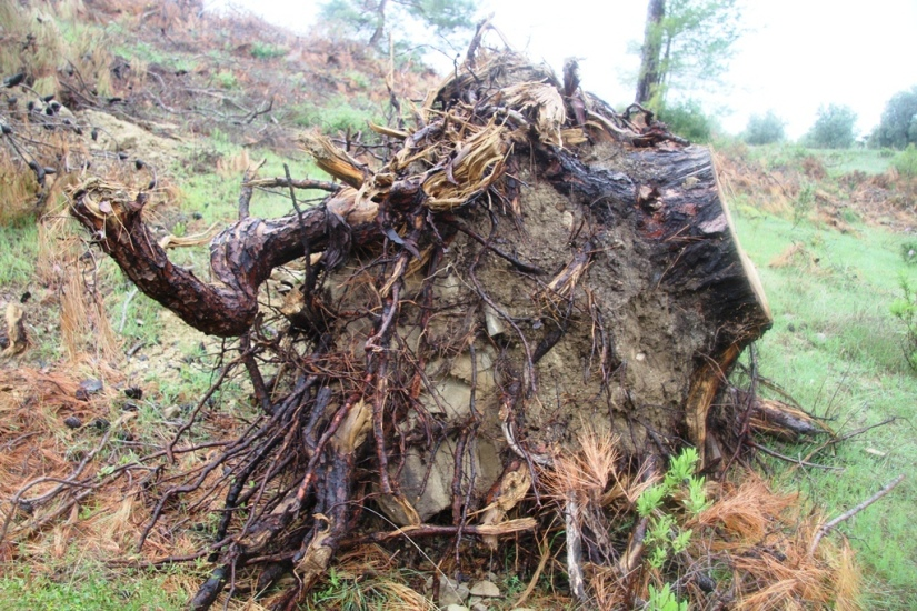ormandan kesilen ağaçların kökleri sökülere arazi açıldı.JPG