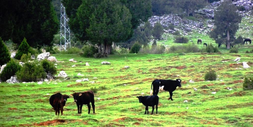 Zor koşullarda yaşayabilen yerli sığır türleri yüksek maliyetli yemler yerine doğadan beslenebiliyor.JPG