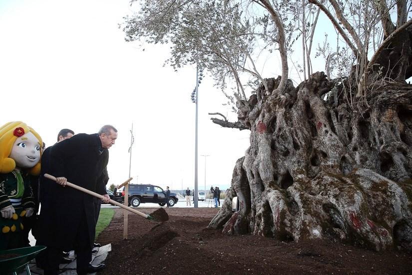 19 Ocak 2016 Erdoğan zeytin ağacı dikiyor.jpg