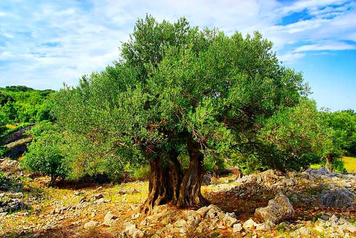 allegory-of-the-olive-tree-jacob-5.jpg