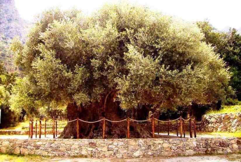 Girit'te bulunan 3500 yaşındaki anıt zeytin ağacı.jpg