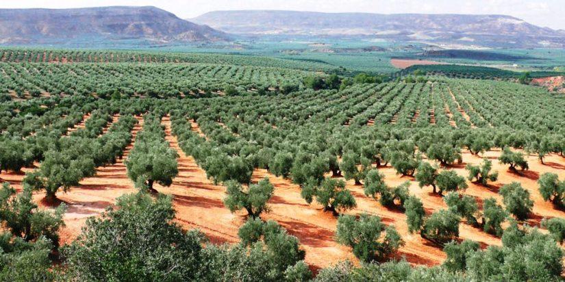 İspanya Endülüs bölgesinde devasa zeytinlikler bulunuyor.jpg