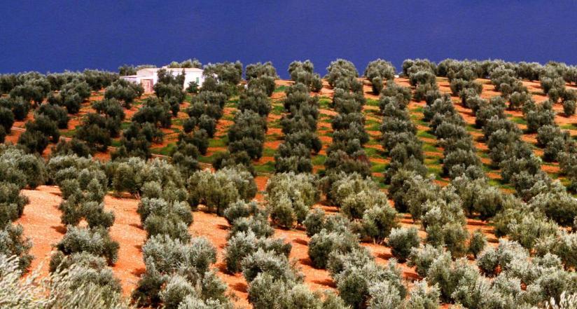 ispanya'da zeytinlikler coğrafi tescil ile korunuyor.jpg