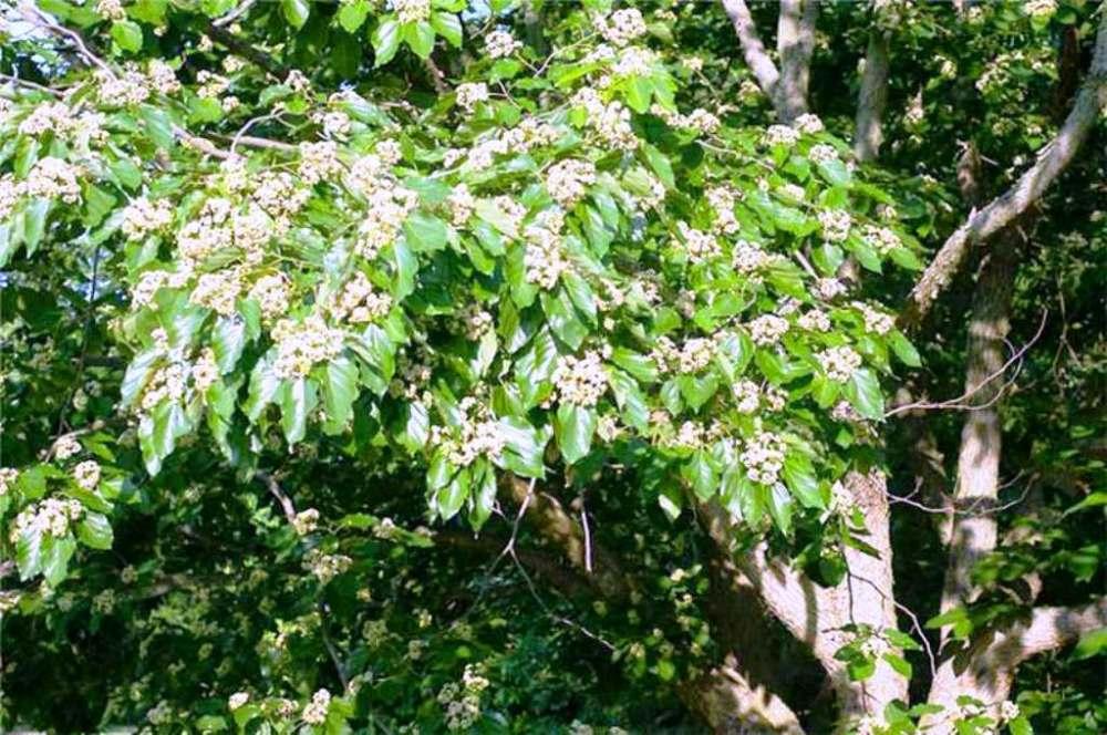Japon üzümü ağacının bölgeye çay ile birlikte getirildiği sanılıyor.jpg