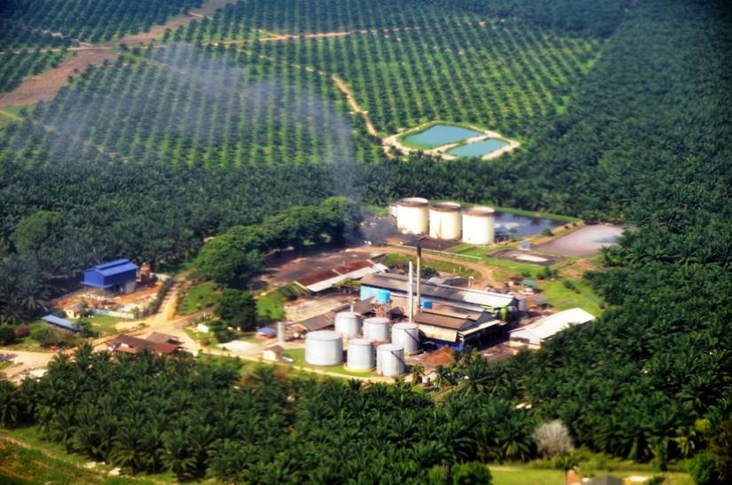 ormanlar yok edilerek oluşturulan yağ palmiyesi plantasyonları.jpg