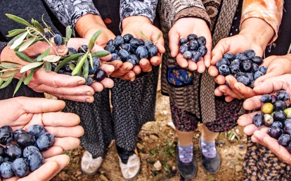 Türkiye'nin zeytin üretimi mecliste haftaya oylanacak yasaya bağlı.jpg
