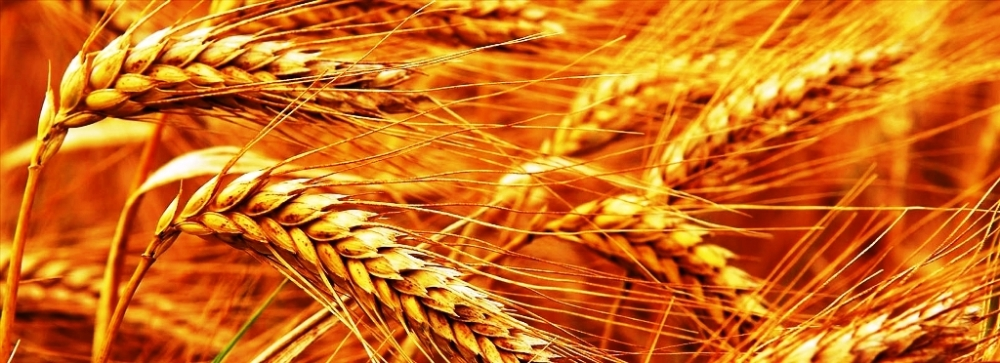 buğday.jpg