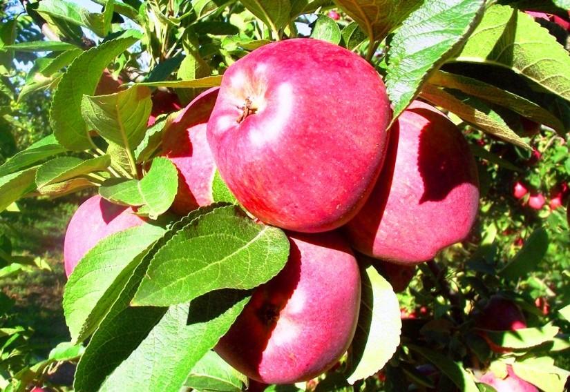 Türkiye'nin elma üretiminin dörtte biri Isparta'da  gerçekleştiriliyor.JPG