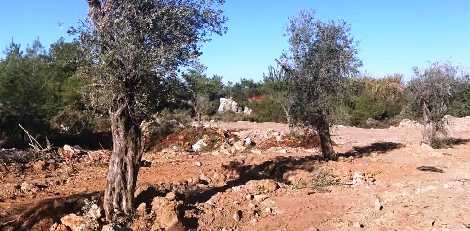 ormanlık ve makilik arzideki ağaçları kesip yerine yetişkin zeytin ağaçları dikildi.jpg