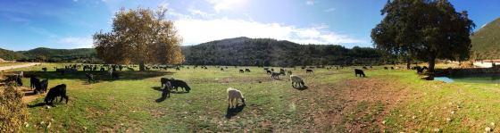 Otoyolun geçeceği otlaklık alan-keçiler