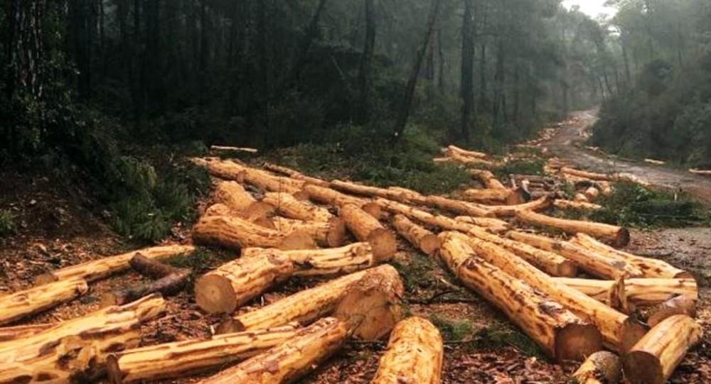 yol için kesilen ağaçlar.jpg