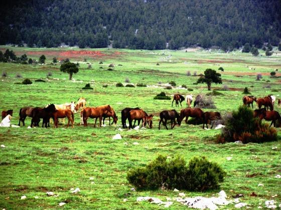 Bölgede yüzlerce yılkı atı yaşıyor.JPG