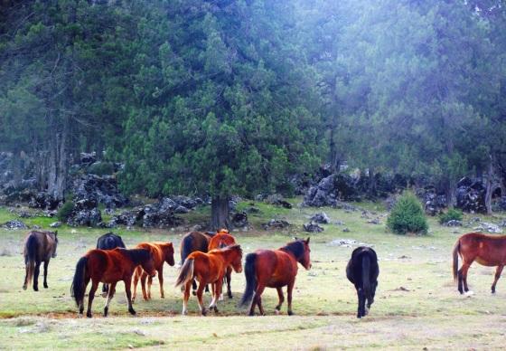 Yeniköy çevresindeki ardıç ormanları yılkı atlarına da ev sahipliği yapıyor.JPG