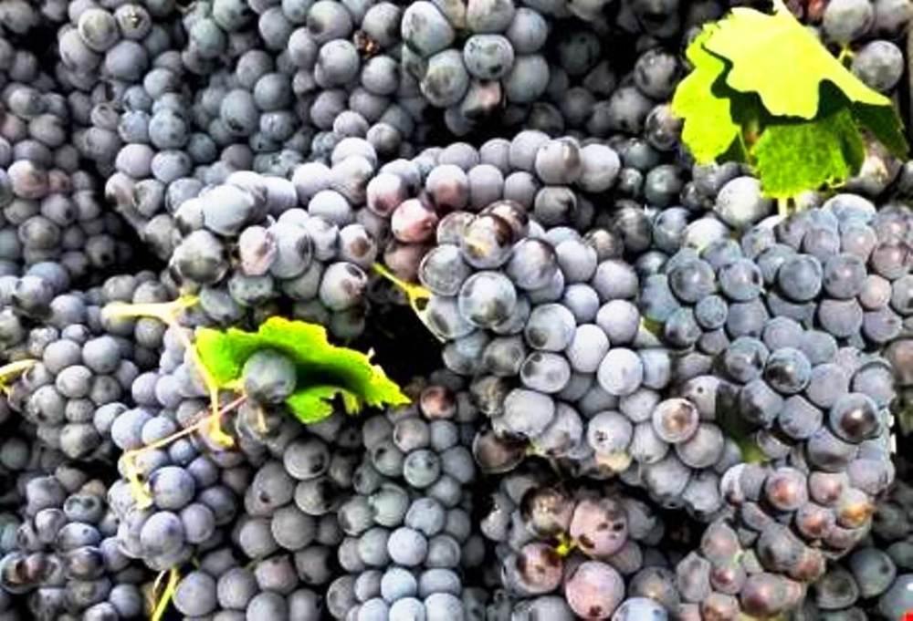 Erciş üzümü adıyla bilinen üzüm türü bölgede halen yetiştiriliyor.jpg