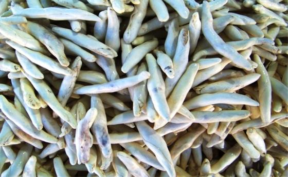 Kenger sakızı bitkinin köklerinden çıkarılan sıvının donmasından sonra kaynatılıp bükülmesiyle elde ediliyor.jpg